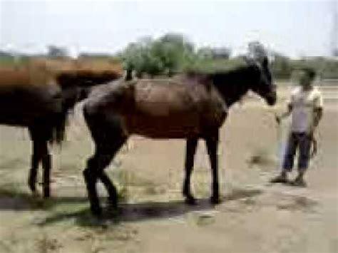 apareamiento animales salvajes apareamiento caballos