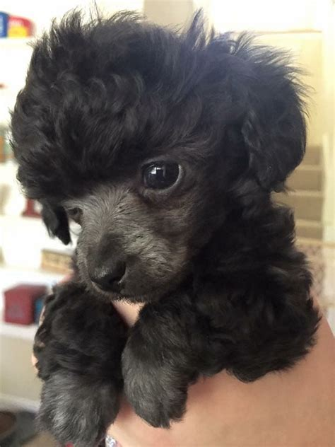 french puddle hair cut 487 best black poodles you have to love em images on