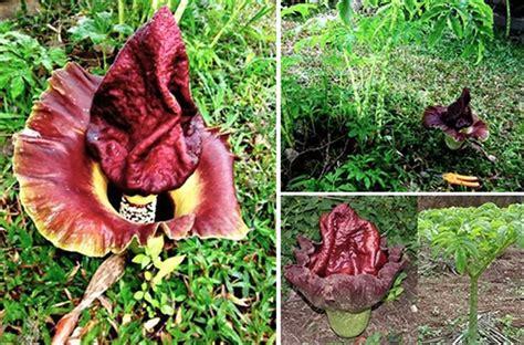 jual benihbibitumbi bunga bangkai amorphophallus
