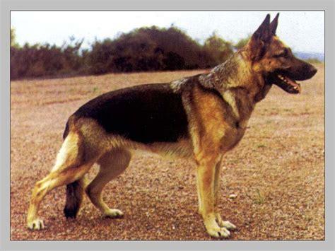 eclsia in dogs veus ecclesia sz 1373283 german shepherd dogs on pedigree database pedigree