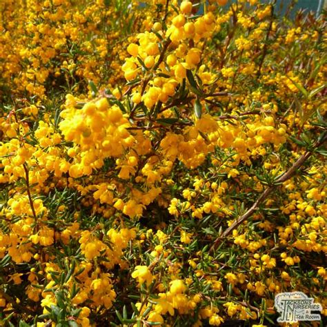 buy berberis  stenophylla golden barberry   uk