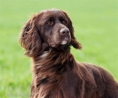 german longhaired pointer puppies german longhaired pointer history personality appearance health and pictures