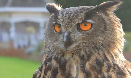 falconry experience willows bird  prey centre groupon