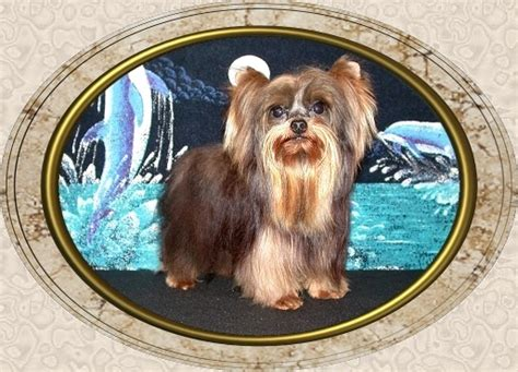 yorkie height page 5 velvet touch yorkies d o b height weight information