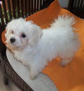 dogs for sale in nc maltese breeders nc breeds picture