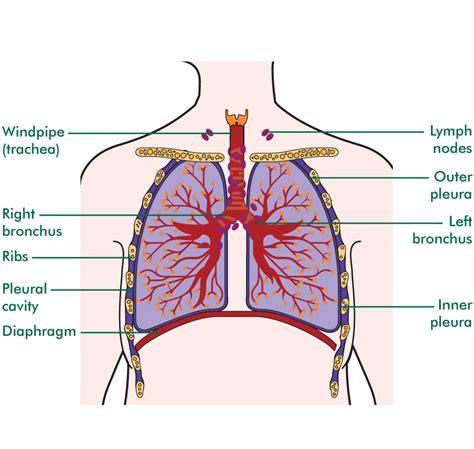 chest cavity diagram thoracic cavity anatomy diagram thoracic get free image
