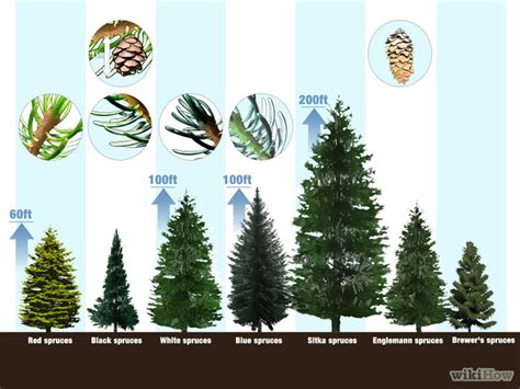 christmas tree types comparison how to identify spruce trees 6 steps with pictures wikihow