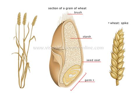 wheat seed diagram plants gardening plants cereals wheat image