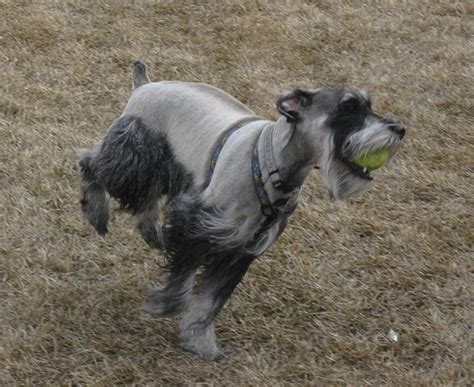 standard schnauzer puppies the beard the schnauzer personality explained