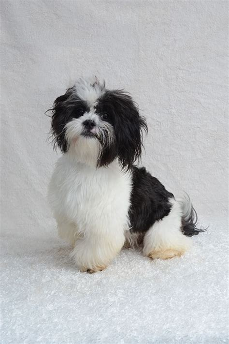 shih tzu rescue florida 25 best ideas about shih tzu rescue on boxer quotes caeser