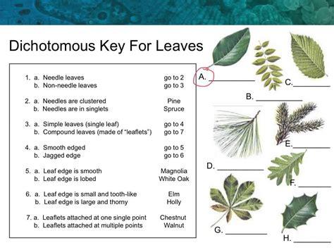 Dichotomous Key Worksheet by Leaf Dichotomous Key Worksheet Worksheets For School Dropwin
