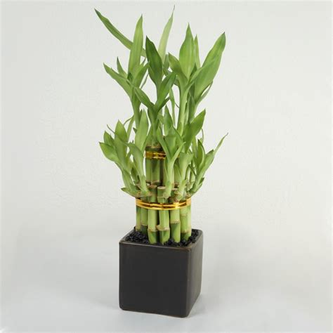 double tier lucky bamboo tower bonsai amp bamboo live plants