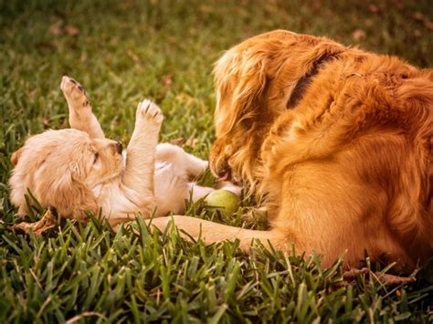 gestation for dogs how are dogs gestation period american kennel club