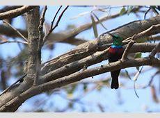 Shelley's Sunbird – Bird & Wildlife Photography by Richard ... Habitat Online Shop