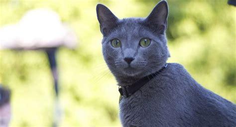 blue cats cat breed profile russian blue petful
