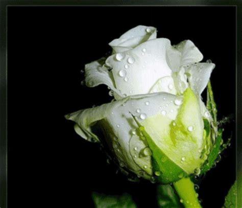 imagenes de amor gif con movimiento para facebook 10 im 225 genes de rosas en movimiento para san valentin