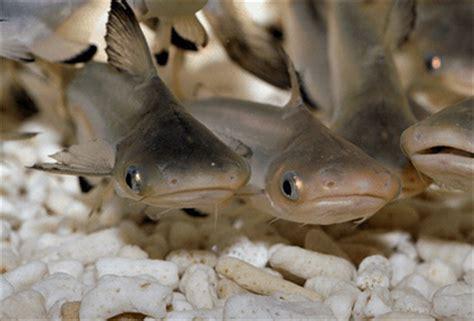 Makanan Ikan Hias Patin budidaya ikan air tawar budidaya ikan patin