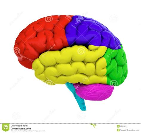 brain color colored brain stock illustration illustration of learning