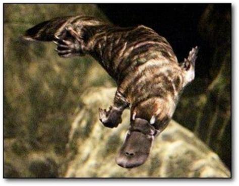 imagenes de ornitorrinco reales 8 esqueletos terrorificos de animales adorables taringa