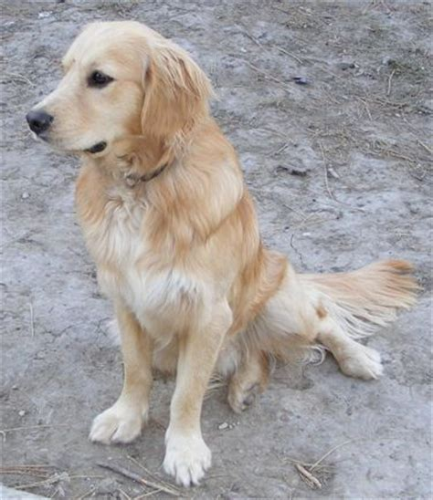 golden cocker retriever hypoallergenic 220 ber 1 000 ideen zu golden retriever cocker auf golden retriever