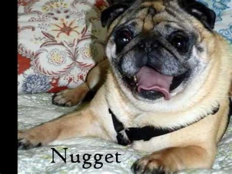 pug rescue of new available pugs adopt me pug rescue of new prone pugs available for adoption as of 3 16 12