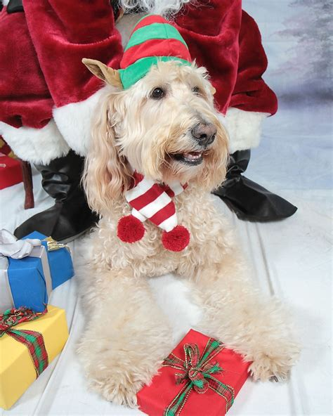 goldendoodle puppy crate 1000 ideas about goldendoodles on