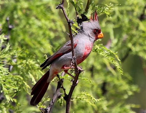 desert cardinal life expectancy