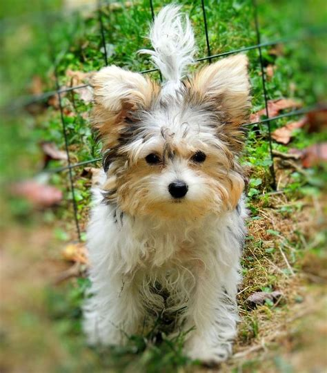 yorkie bichon frise mix yorkie bichon mix temperament breeds picture