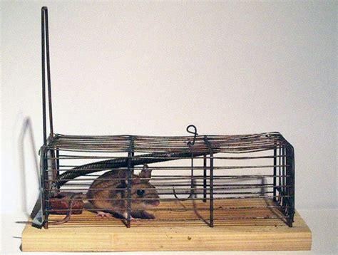 cara membuat perangkap tikus massal tips mudah basmi tikus di rumah rumah dan gaya hidup