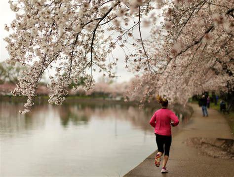 cherry tree 10 miler cherry blossom 10 miler