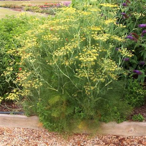 Missouri Botanical Garden Plant Finder - dill bouquet friends school plant sale