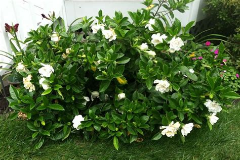 gardenia pianta da giardino gardenia gardenia jasminoides gardenia jasminoides