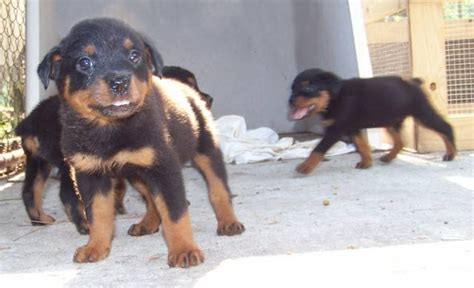 black jade rottweilers free rottweiler in ga breeds picture