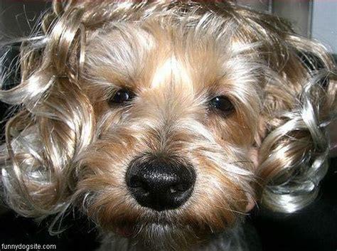 curly hair puppy curly hair funnydogsite