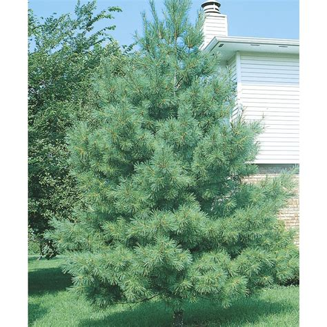 Lowes Trees - shop eastern white pine screening tree l3619 at lowes
