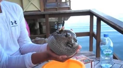 pesce palla cucina il pesce palla si gonfia per difendersi e poi si sgonfia