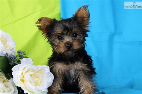 teacup yorkie for sale in pa kenny teacup yorkie