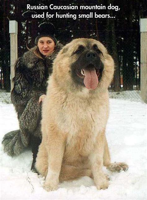 Berghunde kaukasischer owtscharka berghund and haustiere on