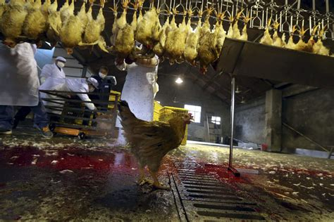 Slaughterhouse House by A Live Chicken Is Seen A Processing Production Line