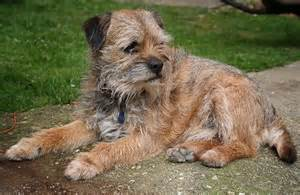 Border terrier pictures border terrier dog breeds index