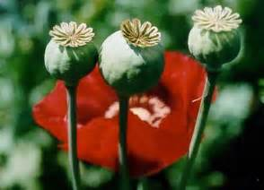 Any tips for growing and harvesting poppy plants the tazmanian
