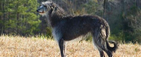 scottish deerhound dog breed profile petfinder