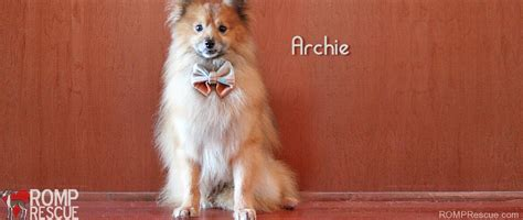 pomeranian rescue chicago chicago pomeranian rescue archie available for adoption romp italian greyhound