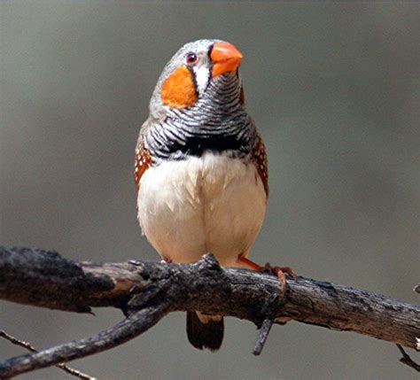 zebra finch canberra birds