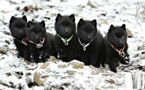 schipperke dogs schipperke breed pictures information temperament characteristics animals