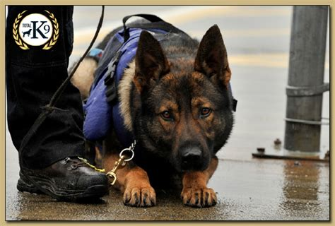how to security dogs security dogs for sale protection dogs total k9driffield