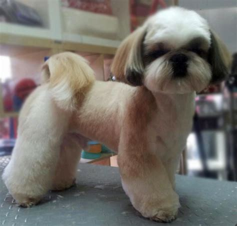 shih tzu puppy haircut pictures 74 best shih tzu grooming hairstyles images on pinterest