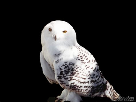 snowy owls wallpaper 9887555 fanpop