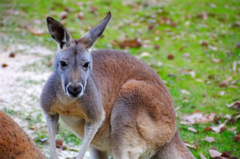 red kangaroo  kangaroo    kangaroo kountry exhi flickr