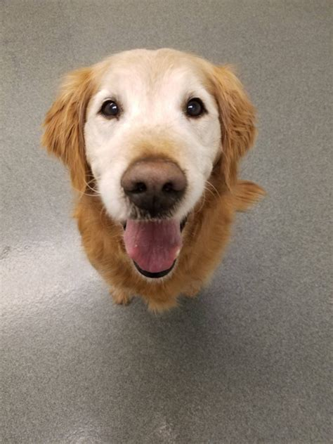 golden retriever rescue michigan golden retrievers golden retriever forums senior golden michigan